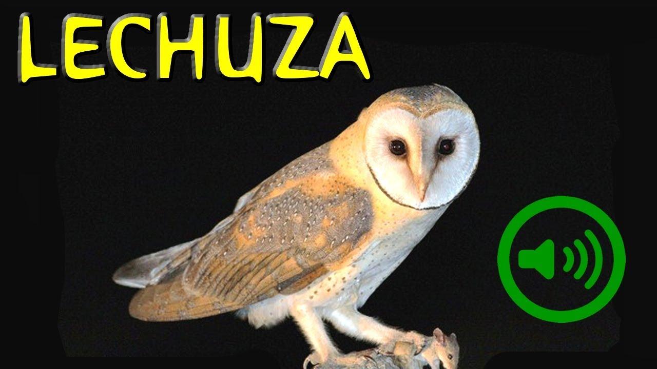 Canto De La Lechuza Tyto Alba Youtube