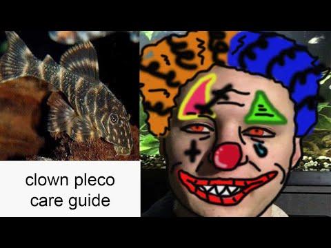 Clown Pleco Care Guide