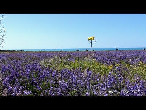 Лаванда. Красивое видео, поле. Пение птиц, пчелы, лето, ветерок, звуки природы, релакс, медитация.