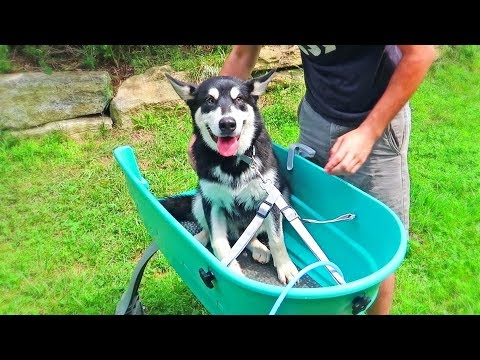 Alaskan Malamute Puppy First Time Bath