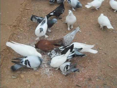 Güvercin Çiftliği - Uğurmumcu Mahallesi -kartal