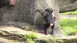 Chimp infant Fumo has learnt to use tools