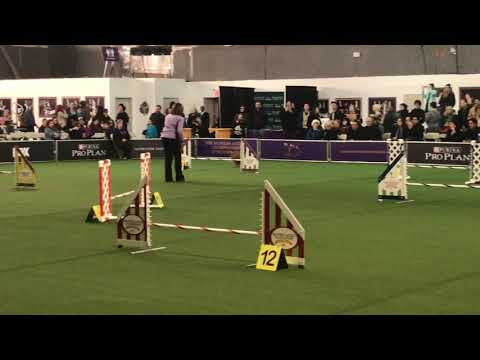 Dog Competes In An Agility Competition At Westminster Dog Show 2019
