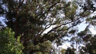 GREAT wild Kookaburra call/laughing- Perth, Australia