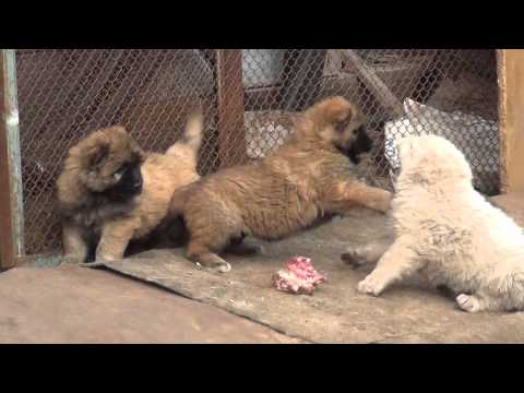 Caucasian Shepherd puppies kennel Sormovskaya Zarya.