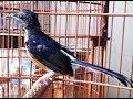 Terbongkar Inilah Lima Pantangan Ketika Burung Sedang Mabung  Mp3 - Mp4 Download