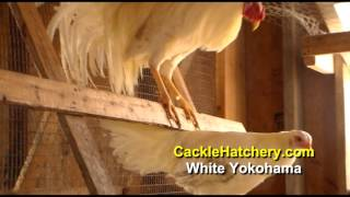 White Yokohama Chicken Breed (Breeder Flock) | Cackle Hatchery