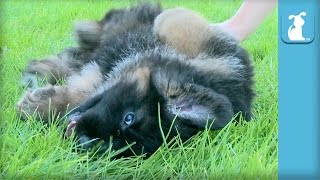 The Cutest German Shepherd Puppy Gets A Belly Rub - Puppy Love