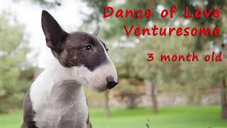 Mini Bull Terrier Puppy 'Dance of Love' Venturesome