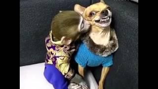 Обезьяна тролит собаку! Мега ржач!!!