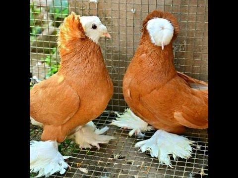 Dünyadaki En pahalı güvercinler(pıgeons)