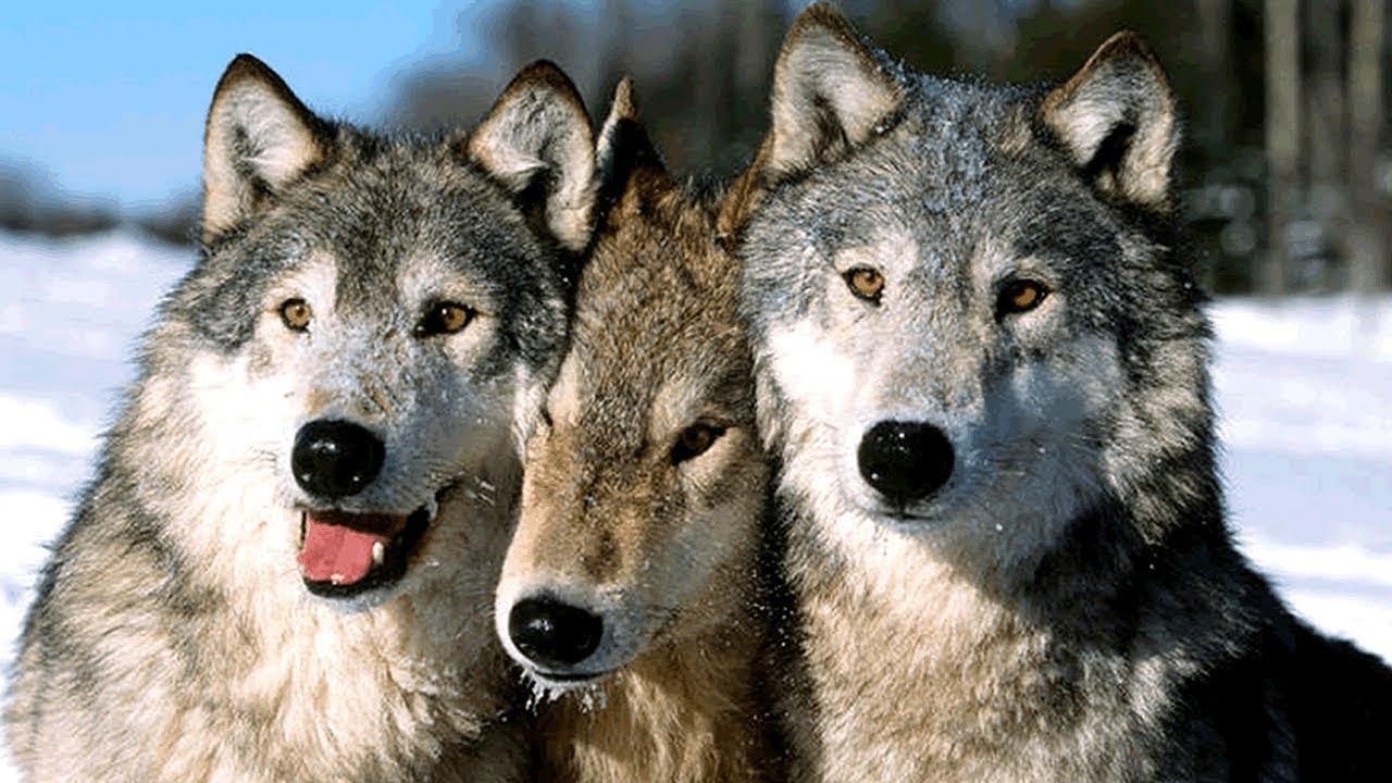 процесс фото на аву волки стая вмешательства
