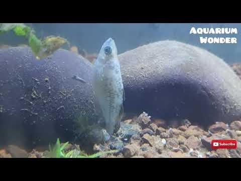 Assassin Snail Vs Fish | Assassin Snail Trying To Eat Fish| #assassin Snail, #snail Eating Fish