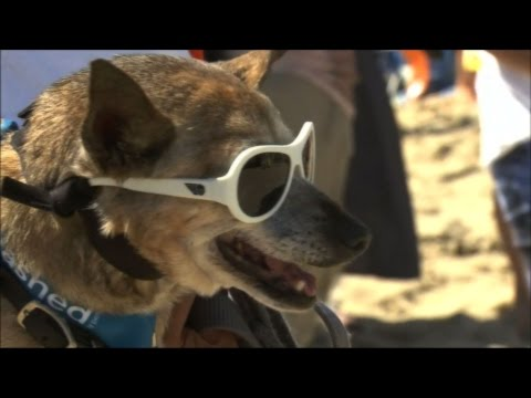 Watch Dogs Surfing High For Surf City Surf Dog Competition