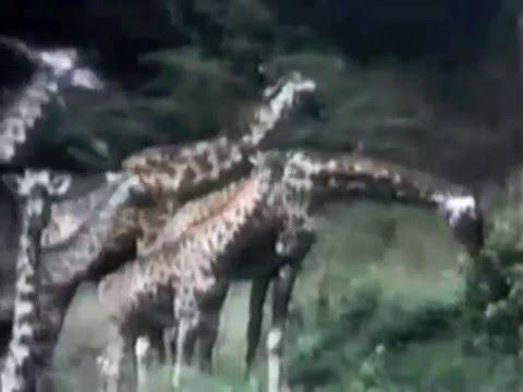 Classic Sesame Street film - Giraffes (intro from Kermit & kids)