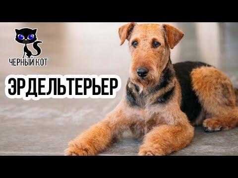 ✔ Эрдельтерьер - универсальная порода. Собака, сочетающая качества охранника, охотника и компаньона