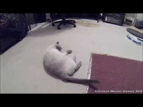 Ragdoll cat wants a pat - PoathCats / PoathTV / Floppy Cats