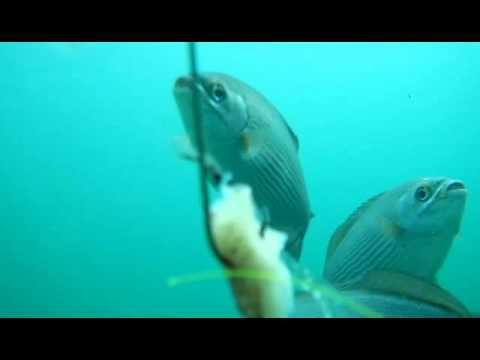 Fish Eating Squid Under The Dania Beach Pier Youtube