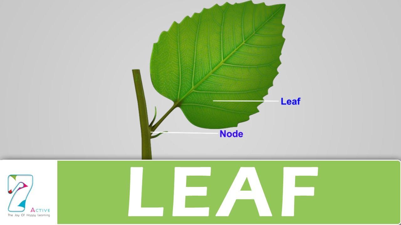 maxresdefault leaf youtube