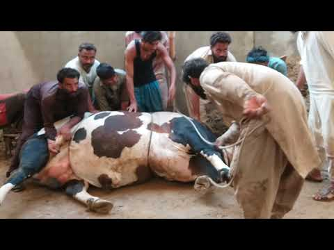 The greatest cow qurbani by Expert-Qasai(2019~2020)
