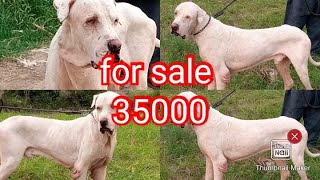 bully kutta for sale location faisalabad +923015014241 only 35000