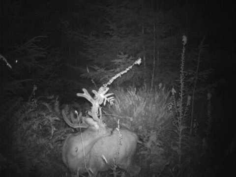 Velvet Blacktail Bucks