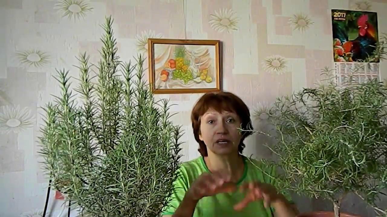 Розмарины дома: из черенка и из семян