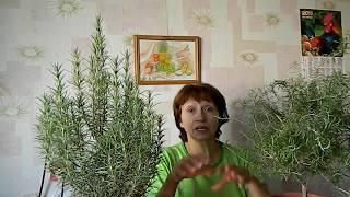 видео Как вырастить розмарин дома?