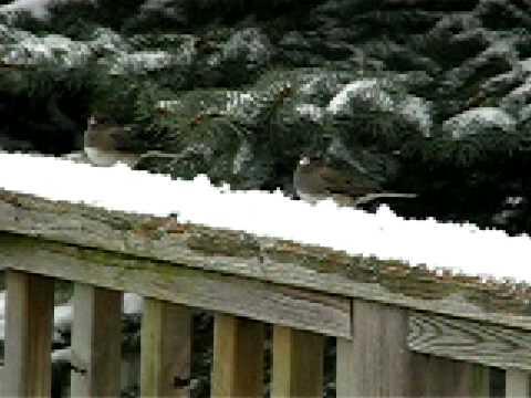 Dark Eyed Juncos in the snow