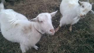 Содержание коз, плюсы и минусы
