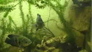 Monster tank, jumbo fish