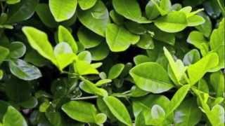 """Hoja verde de la coca (canción tradicional andina) - Trío """"Desde el sur"""""""