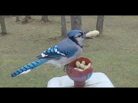 3 Blue Jays arrive for peanuts