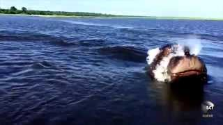 Hair-Raising Hippo Hopping