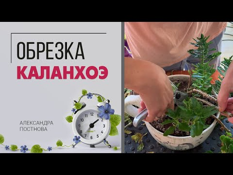 Почему каланхоэ не цветет? Как правильно обрезать каланхоэ, чтобы он был пушистым и цветущим.