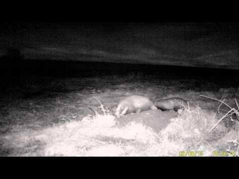 Haslingfield Badgers