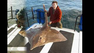 Common skate. Male fish 121lb. Glenarm County Antrim Ireland 2007.