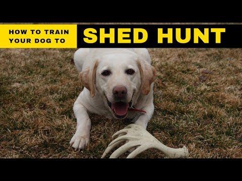 How do you train a dog to shed hunt?