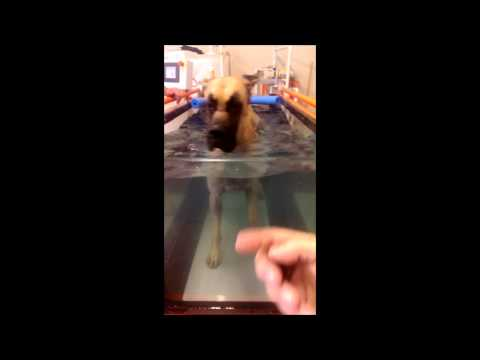 Great Dane Show Dog Working Out On Underwater Treadmill