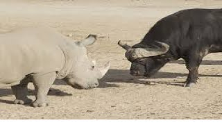 "DUEL MAUT  ""BADAK VS KERBAU LIAR"", deadly fight rhino vs buffalo"