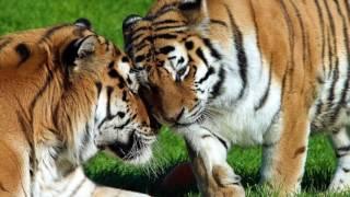 Восточный гороскоп - Тигр