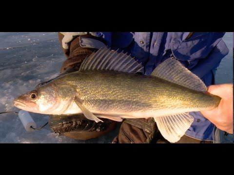 Lake Oahe Ice Walleye