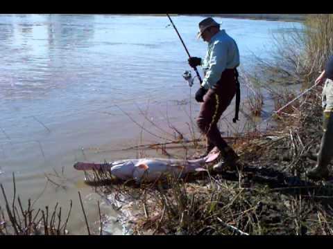 Paddlefish Montana
