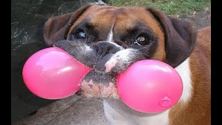 Funniest Dogs Vs Balloons Compilation!