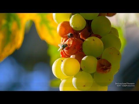 4K Grapes and Bees SWITZERLAND ブドウ 葡萄