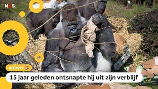 Wereldberoemde gorilla Bokito is jarig