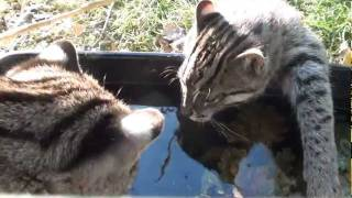 BCS - Introducing the Fishing Cats