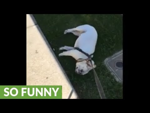 Lazy Frenchie refuses to walk, gets dragged through grass