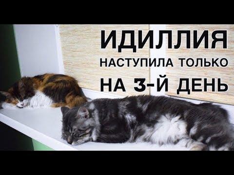 Вязка №1 Курильских Бобтейлов - 27.05.2019г.