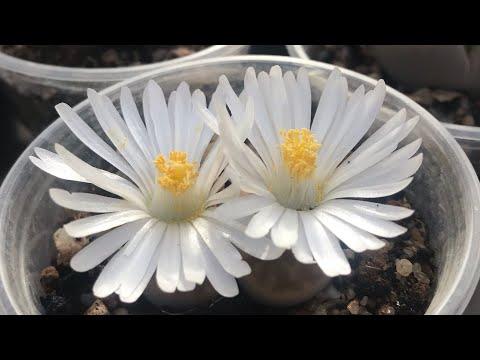 Как опылить Литопсы (Lithops) и получить семена. Размножение Литопсов.